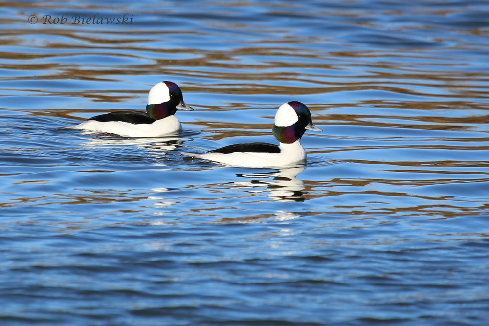 A pair of gorgeous (or handsome?) Bufflehead Drakes at Pleasure House Point!
