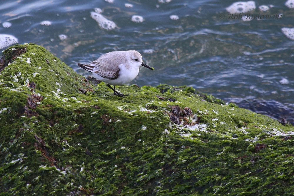 A Sanderling takes refuge from the winds on South Thimble Island Friday evening!
