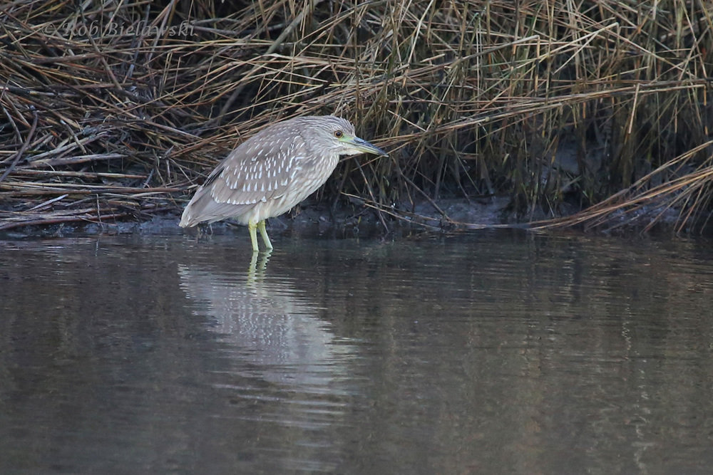 While the Yellow-crowned Night-Herons have all moved further south for the winter, this juvenile Black-crowned Night-Heron can still be found at Pleasure House Point!