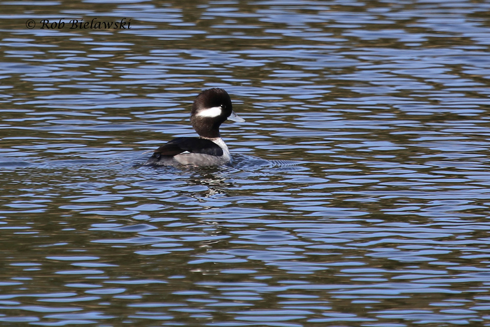 Last week's blog featured a pair of male Buffleheads, well this is their female counterpart, also a striking bird!