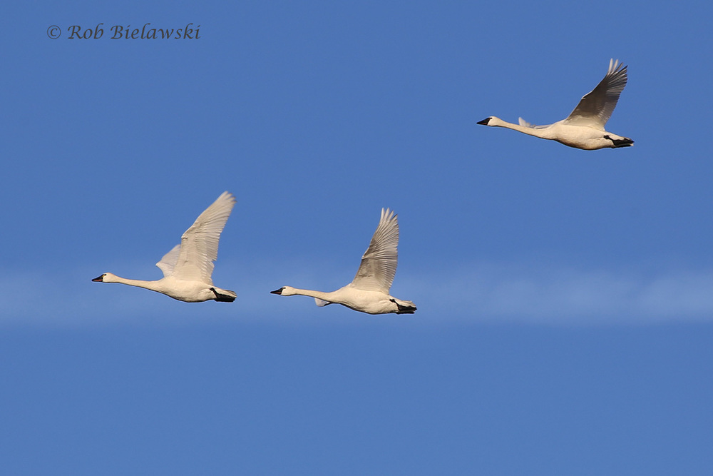 Tundra Swans were flying across the sky in full force early Sunday morning at Back Bay NWR!