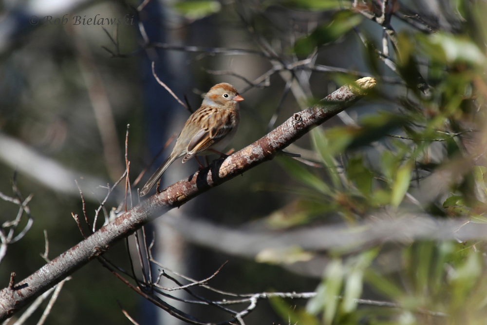 Not my first of the year, but I always enjoy seeing Field Sparrows like this one at Whitehurst Tract!