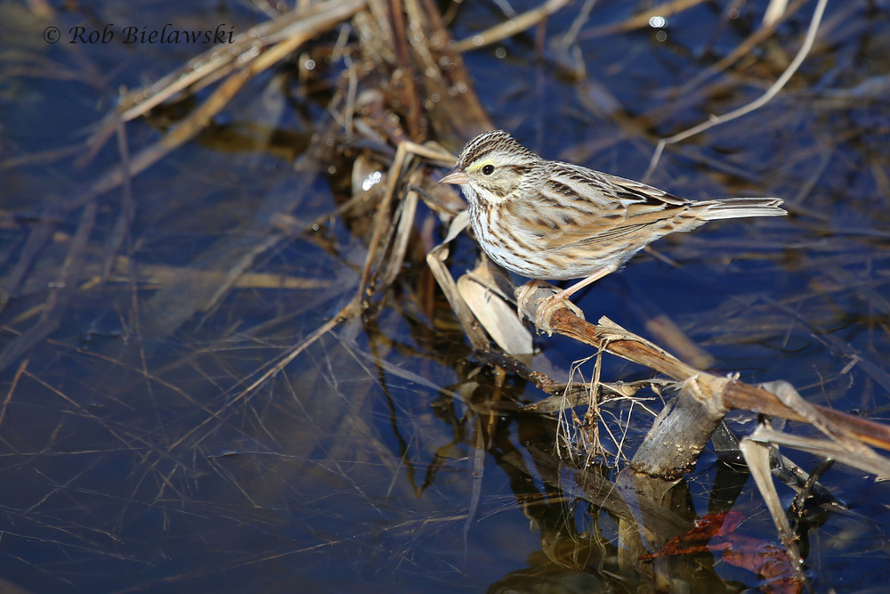 Probably my favorite photograph of this week, this is a Savannah Sparrow that was seen working the edges of an impoundment at Whitehurst Tract, before finally stopping for a split second for this shot!