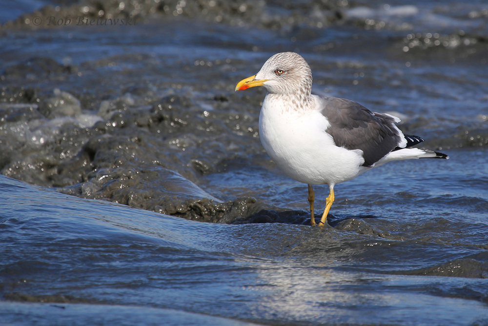 Not an Iceland Gull, but a beautiful, Lesser Black-backed Gull nonetheless!