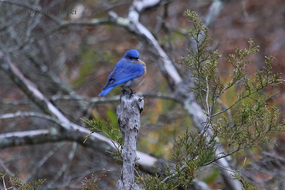 A more colorful relative of the Hermit Thrush, this one is an Eastern Bluebird!