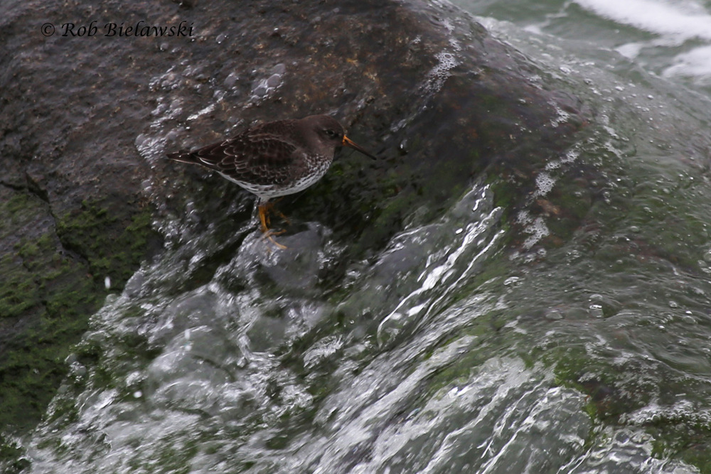 Sometimes difficult to spot on the rocks of the CBBT islands, here is one of several Purple Sandpipers enjoying the heavy surf!