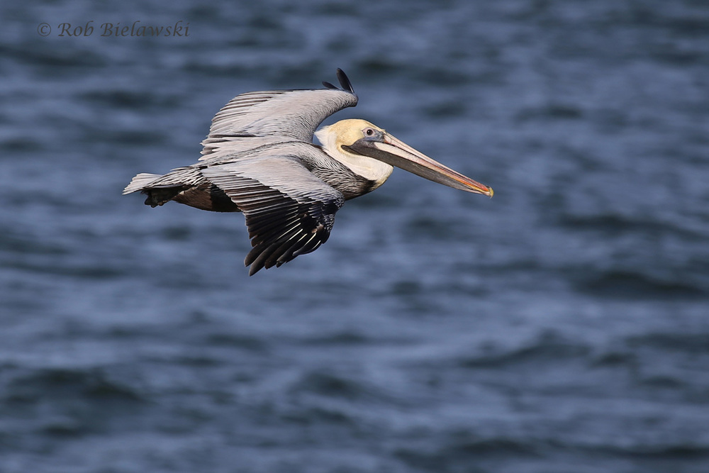 Brown Pelican that was seen on the first island of the CBBT on Friday evening!