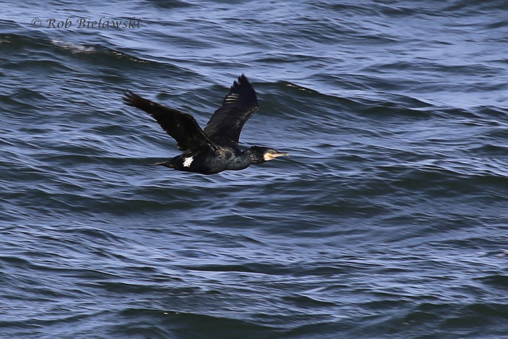 One of the amazing 4-6 Great Cormorants I saw on Friday evening from the CBBT!