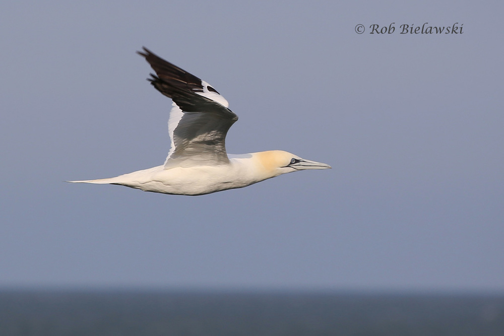 Thanks to an easterly wind, the Northern Gannets were brought in nice & close to shore on Friday evening!