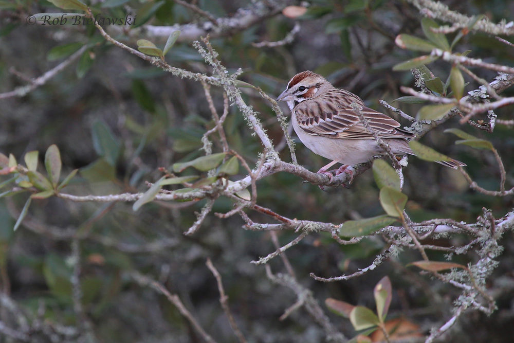 The Lark Sparrow seen at Back Bay NWR on Saturday morning was my favorite shot of this week!
