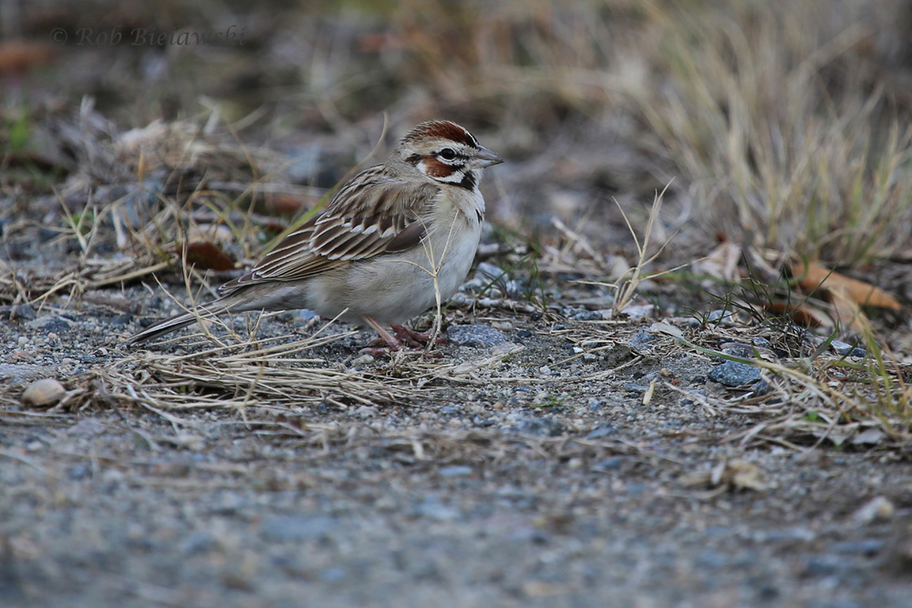 The Lark Sparrow continues at Back Bay!