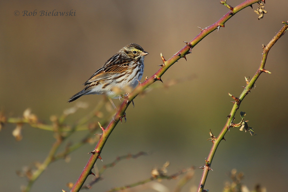 Sparrows abounded at Whitehurst Tract on Sunday, including this Savannah Sparrow!