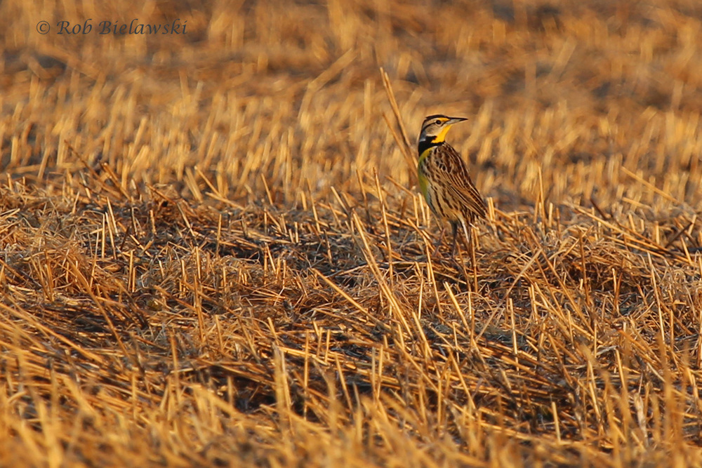 An Eastern Meadowlark catches the morning glow off the sun on Sunday!