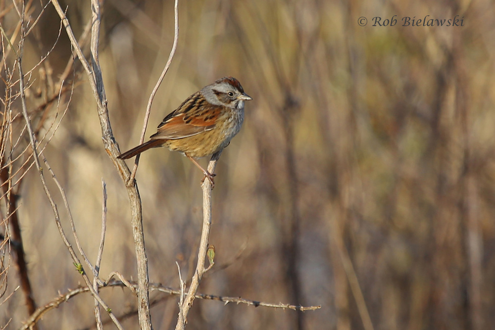 ...and this Swamp Sparrow!
