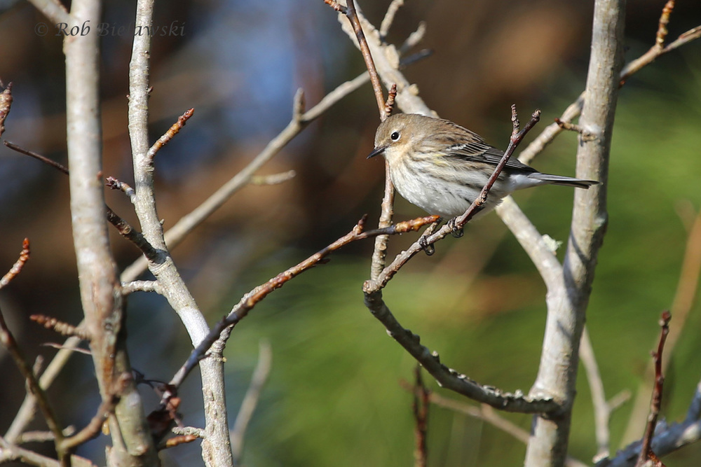 Our most common winter warbler, the Yellow-rumped (Myrtle race)!