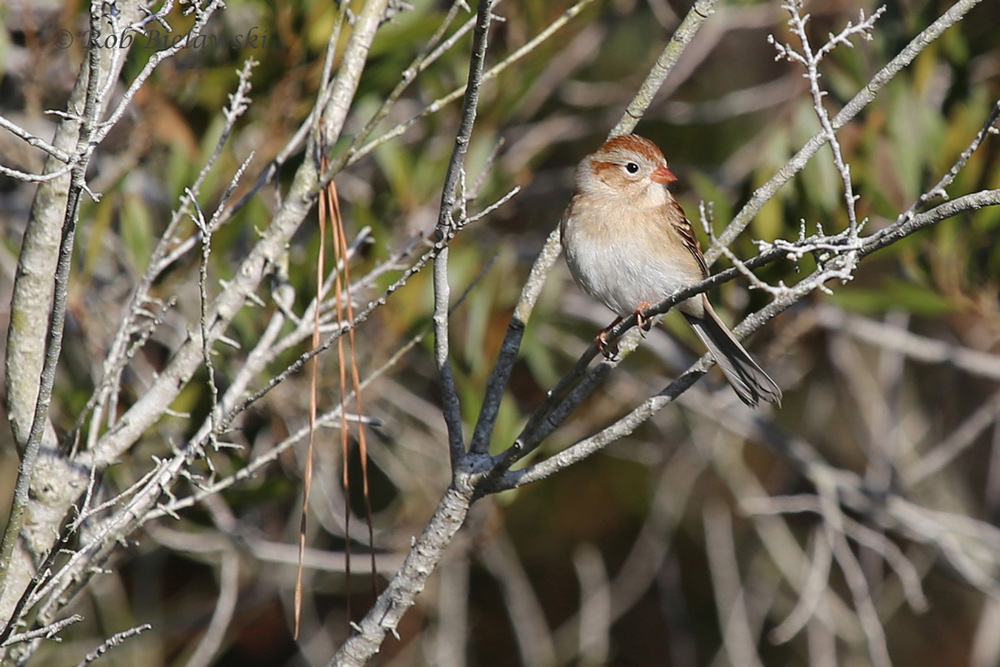 With its long tail and striking facial features, this is a Field Sparrow!