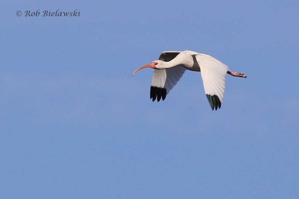 One of 64 White Ibis seen at Whitehurst on Sunday, this one in flight, showing off its gorgeous pink, white & black colors!