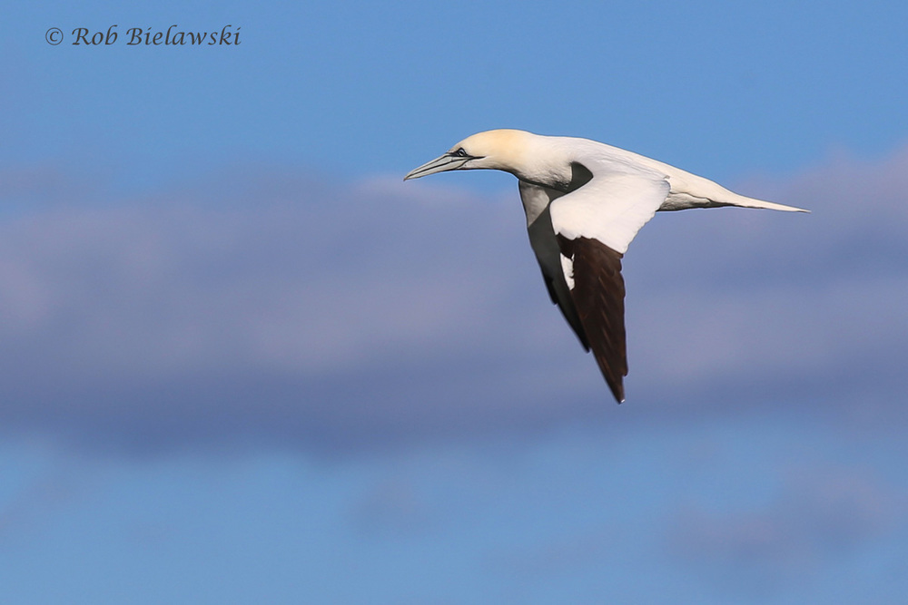Northern Gannet at the CBBT on Friday!