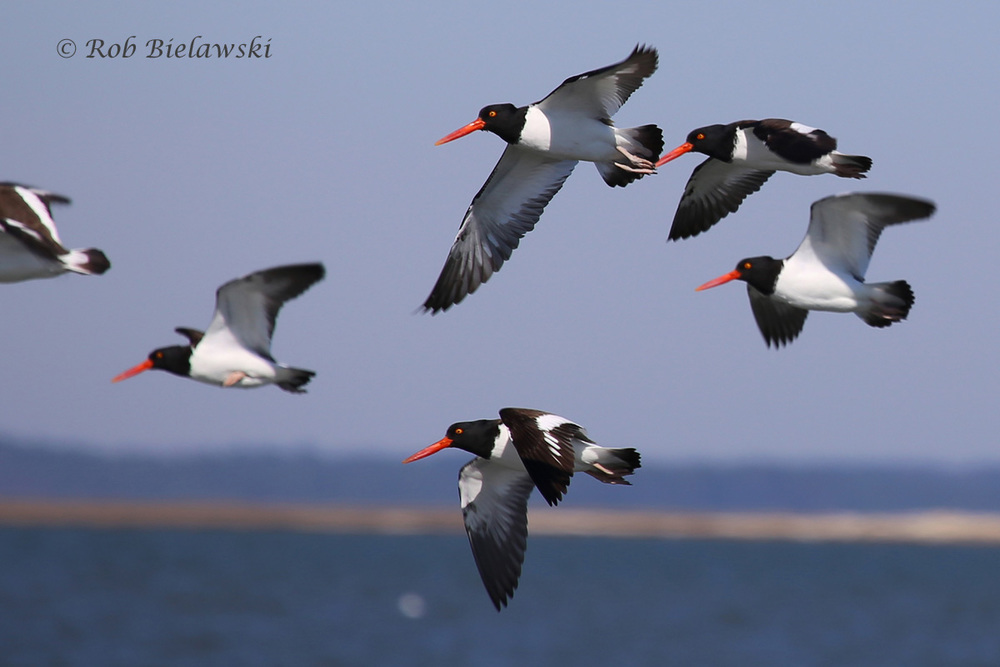 American Oystercatchers in flight over Gull Marsh!
