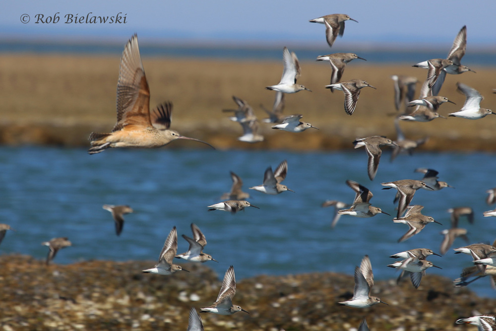 Long-billed Curlew and Dunlin flock at Gull Marsh in the barrier island lagoon system!