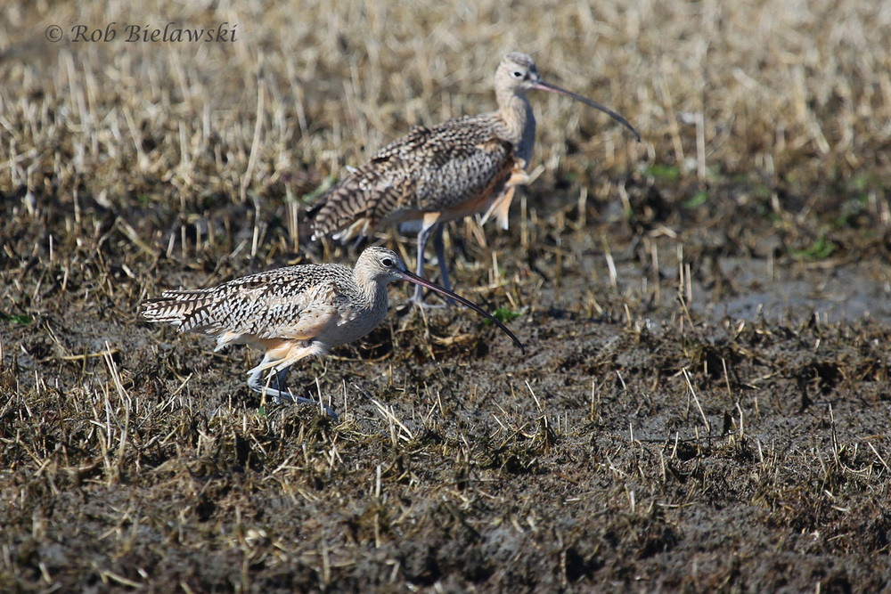 Two of the three Long-billed Curlew we saw on Sunday!