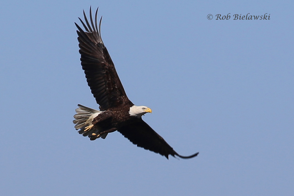 Bald Eagle in flight over the marsh!