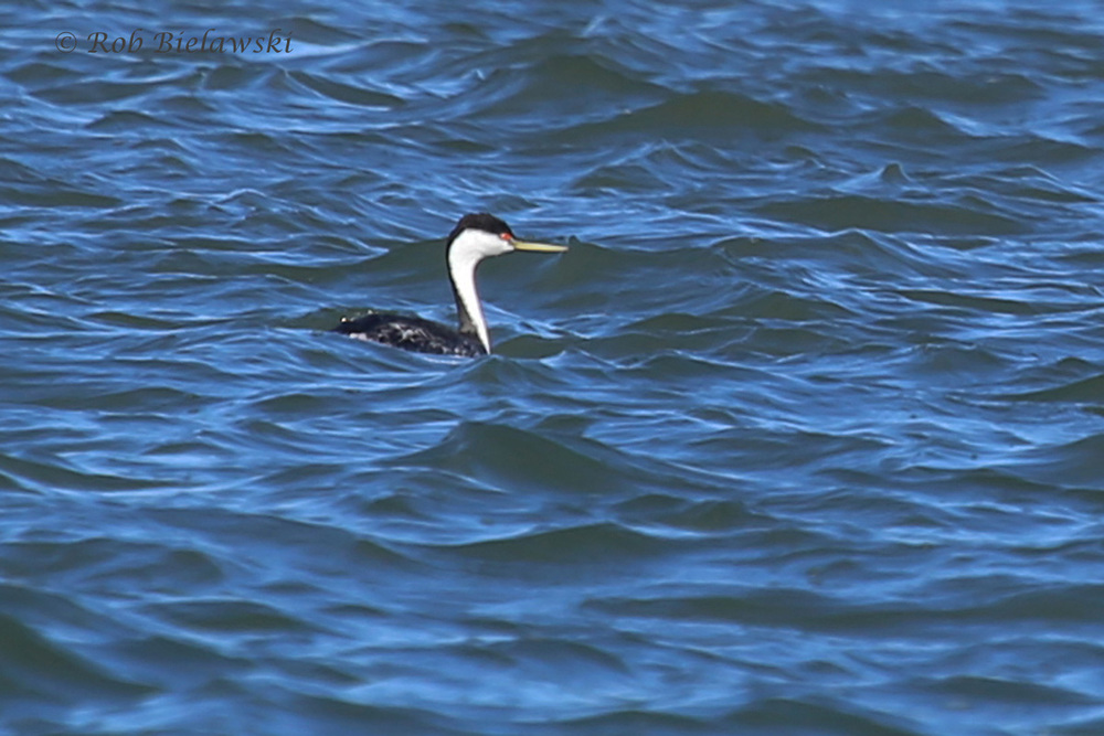 The first Western Grebe observed in Virginia this year on Machipongo River!
