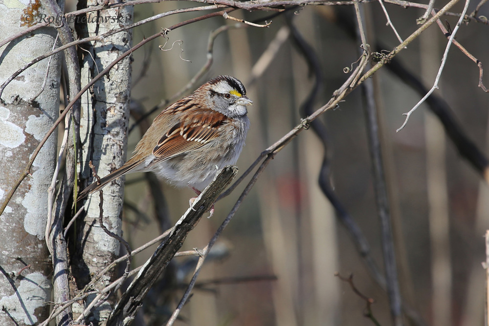 Sparrows were easiest seen during the snow since they needed to find exposed ground to feed on, helping to concentrate species like this White-throated Sparrow near roadways!