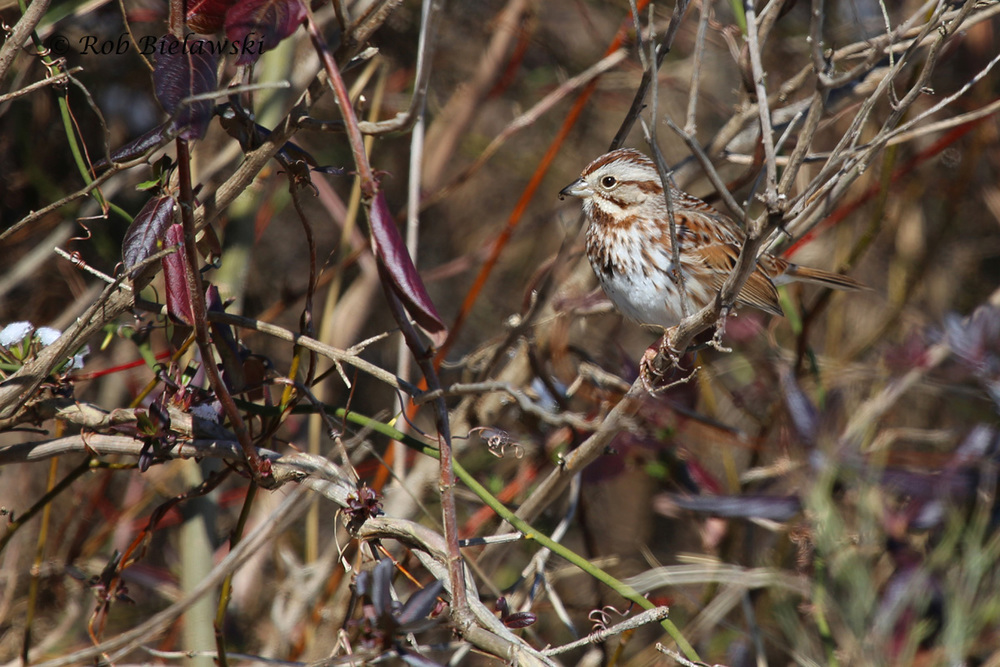 The intense sunlight on south facing areas melted first on Saturday, and attracted sparrows like this Song Sparrow on Back Bay Landing Road!