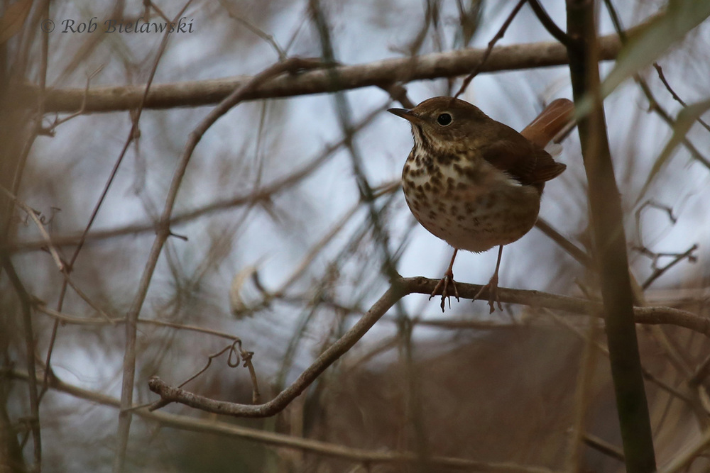 Hermit Thrush / 12 Mar 2016 / First Landing SP, Virginia Beach, VA