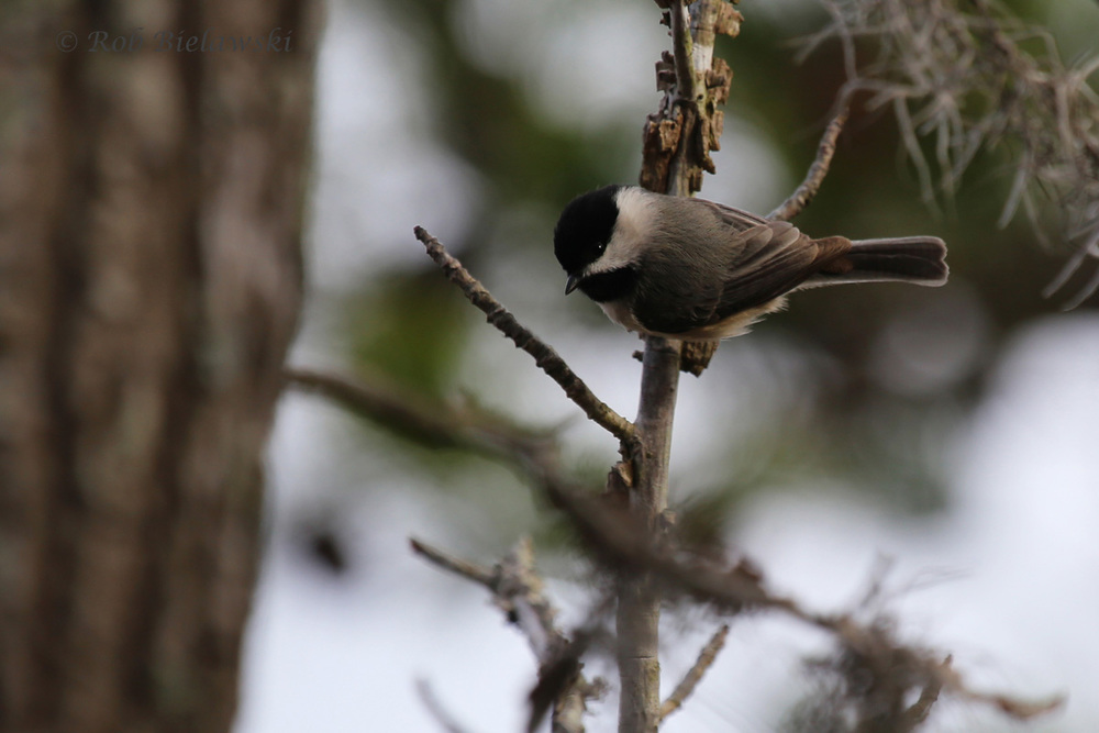 Carolina Chickadee / 12 Mar 2016 / First Landing SP, Virginia Beach, VA