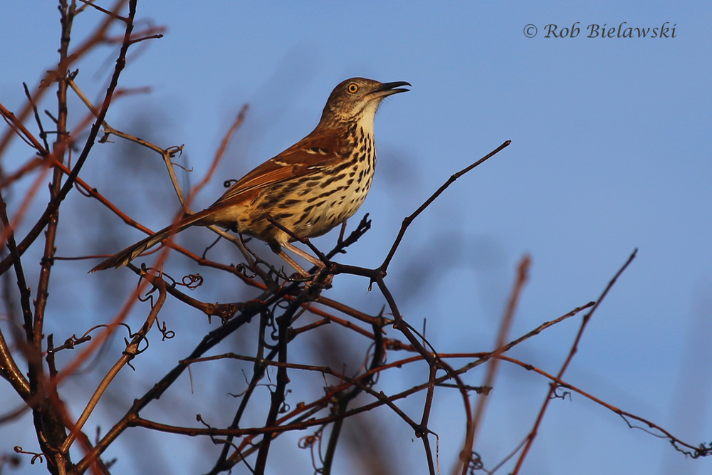 Brown Thrasher / 13 Mar 2016 / Back Bay NWR, Virginia Beach, VA