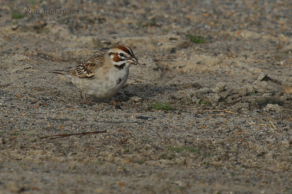 Lark Sparrow / 13 Mar 2016 / Back Bay NWR, Virginia Beach, VA