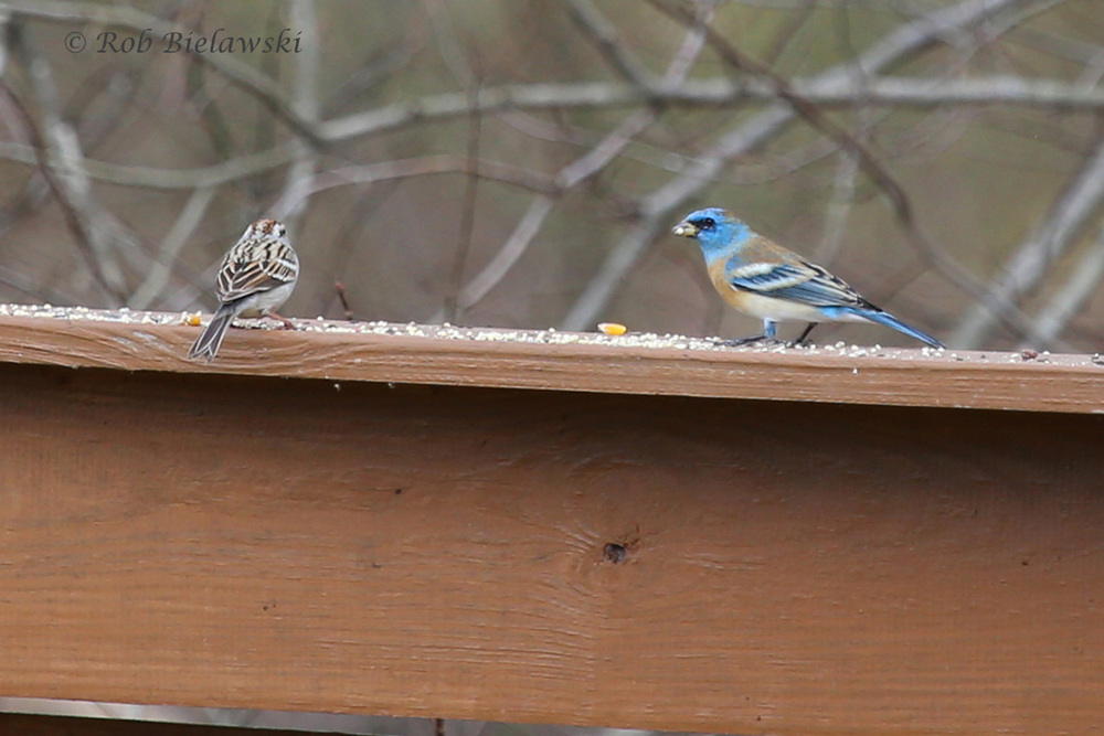 Lazuli Bunting (R) with Chipping Sparrow (L) / 13 Mar 2016 / Suffolk, VA