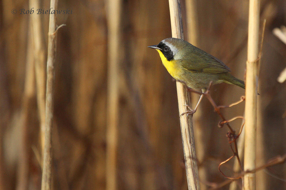 Common Yellowthroat / 13 Mar 2016 / Back Bay NWR, Virginia Beach, VA