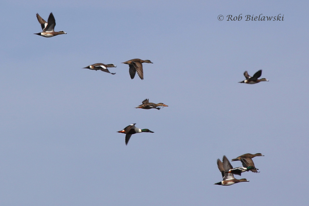 American Wigeons (top left) with Northern Shovelers (large bills) - 13 Mar 2016 - Princess Anne WMA (Whitehurst Tract), Virginia Beach, VA