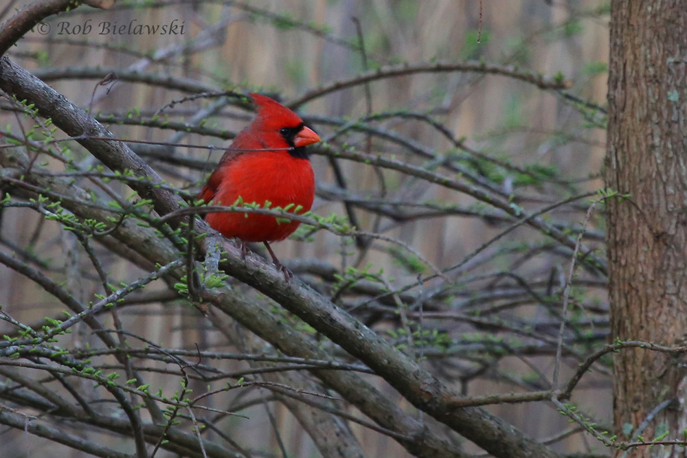 Northern Cardinal / 25 Mar 2016 / Back Bay NWR