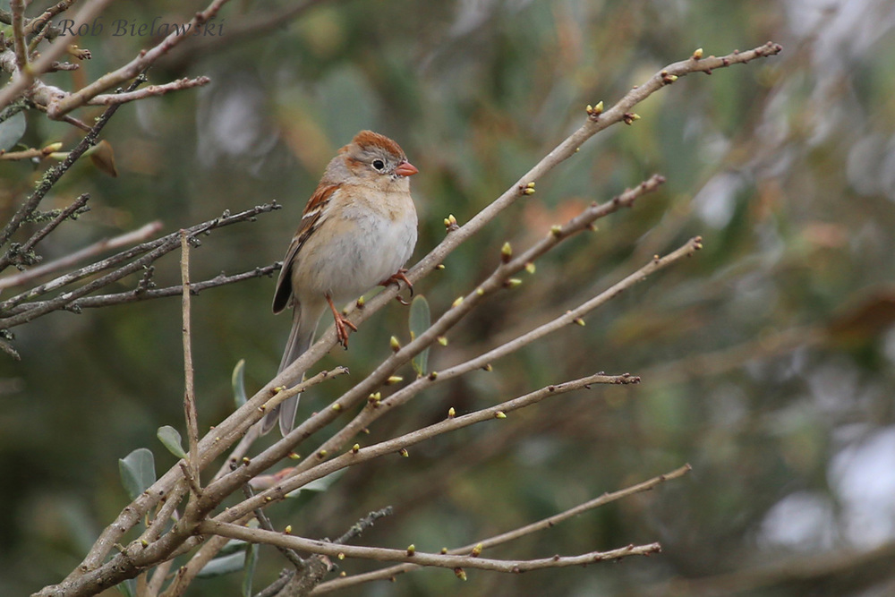 Field Sparrow / 25 Mar 2016 / Back Bay NWR