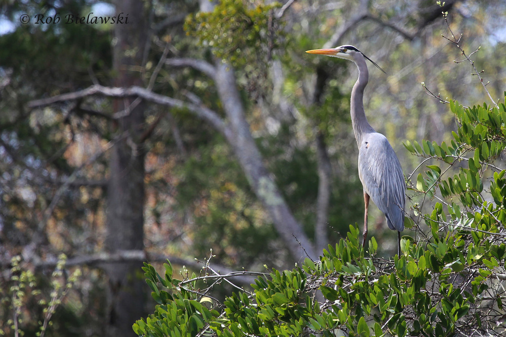 Great Blue Heron / 26 Mar 2016 / Great Dismal Swamp NWR (Hudnell Ditch), Suffolk, VA