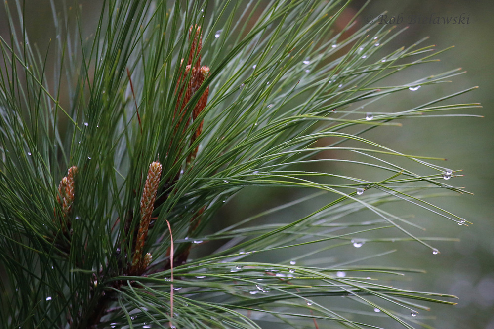 Raindrops & Pine Tree / 27 Mar 2016 / Princess Anne WMA (Whitehurst Tract)