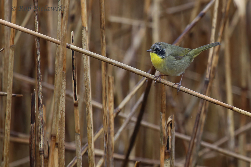 Common Yellowthroat / 27 Mar 2016 / Campbell's Landing Rd.