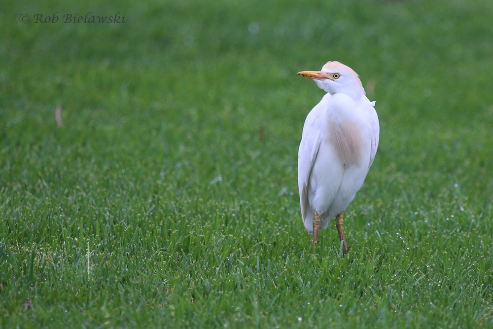 Cattle Egret / 27 Mar 2016 / Mill Landing Rd.