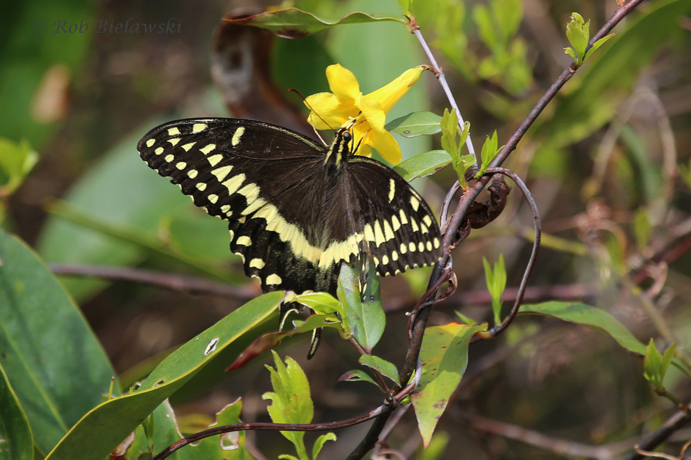 Palamedes' Swallowtail / 26 Mar 2016 / Great Dismal Swamp NWR, Suffolk, VA