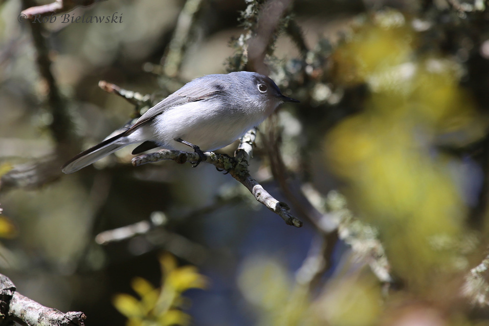 Blue-gray Gnatcatcher / 3 Apr 2016 / Back Bay NWR