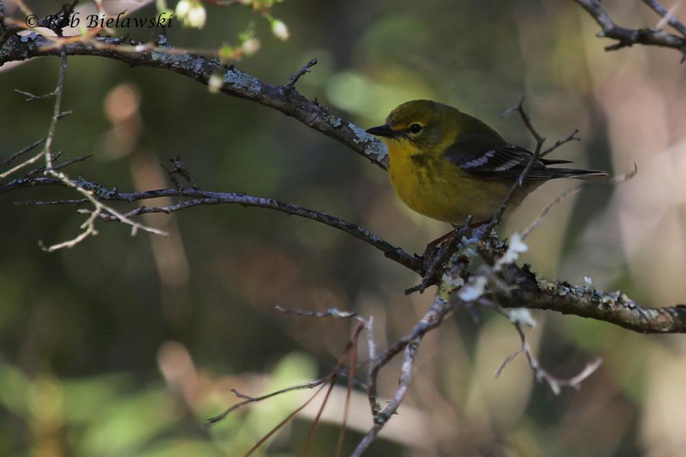Pine Warbler / 3 Apr 2016 / Back Bay NWR