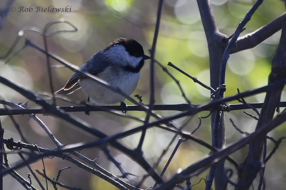 Carolina Chickadee / 3 Apr 2016 / Back Bay NWR
