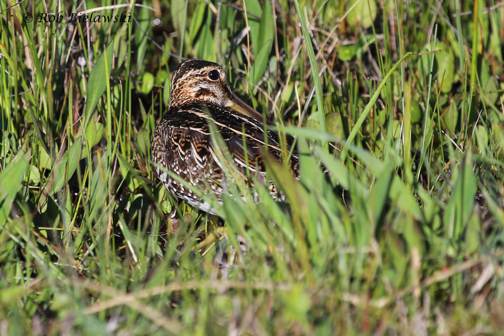 Wilson's Snipe / 3 Apr 2016 / Back Bay NWR