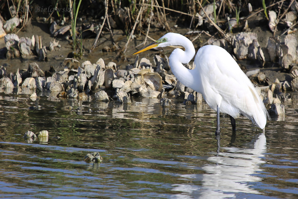 Great Egret / 6 Apr 2016 / Pleasure House Point NA