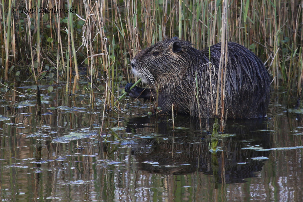 Nutria / 8 Apr 2016 / Back Bay NWR