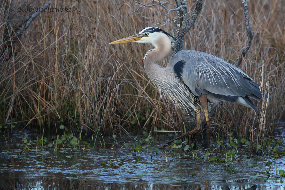 Great Blue Heron / 8 Apr 2016 / Back Bay NWR
